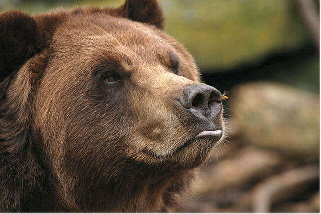 File:Bear with an insect on its nose.jpg