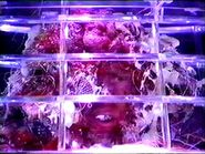 Glass Dalek Mutant