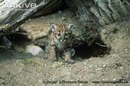 Young-puma-kitten-at-den-entrance