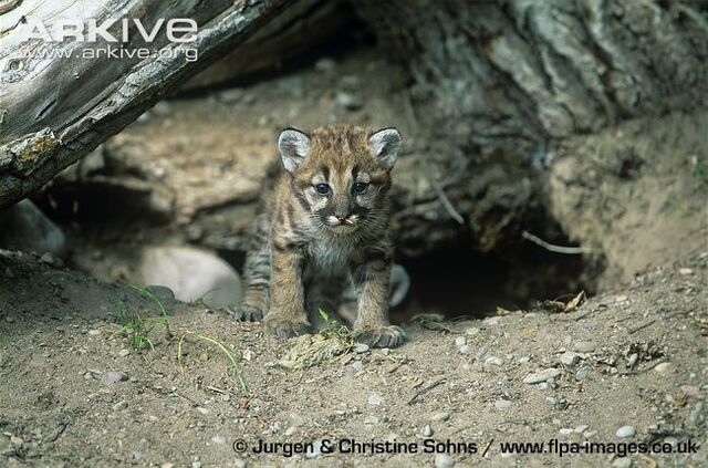 File:Young-puma-kitten-at-den-entrance.jpg