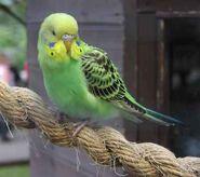 Green-budgerigar