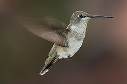 File:Hummingbird1.jpg