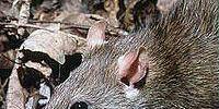 Mother Rat