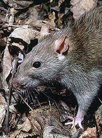 200px-Rattus norvegicus 1