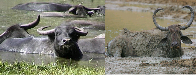 File:Water Buffaloes.png
