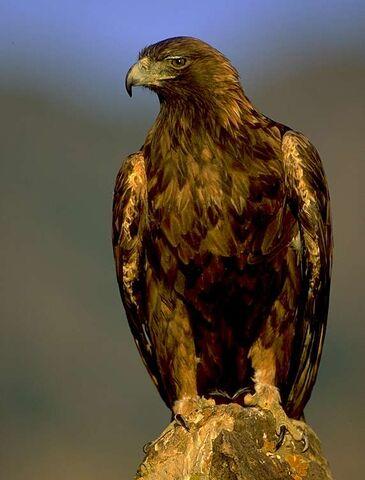 File:Golden eagle.jpg
