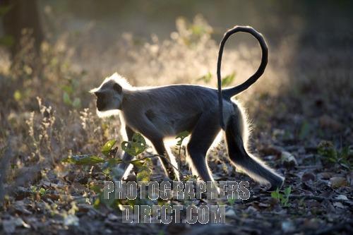File:Hanuman Langur.jpg