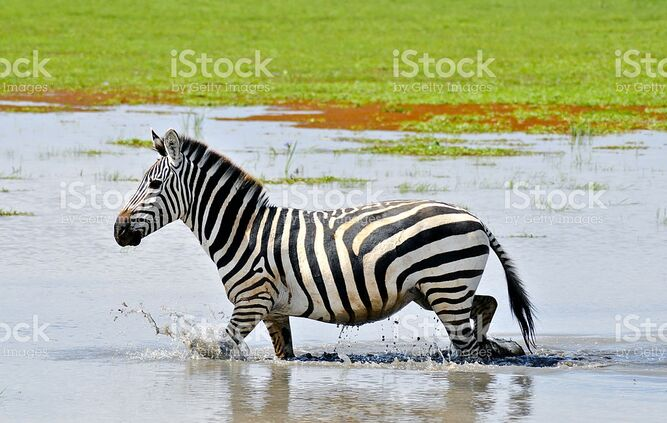 Plains Zebra in the Swamps of West Africa
