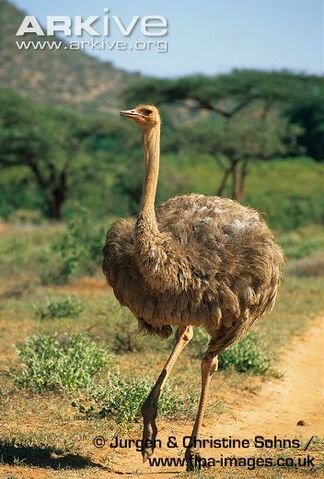 File:Janet Suzman as Ostrich.jpg