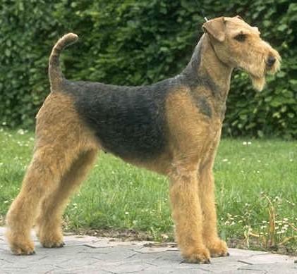 File:Airedale Terrier.jpg