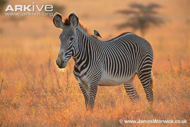 File:Grevy's Zebra.jpg