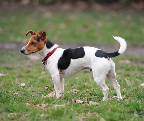 File:Jack Russell Terrier.jpg