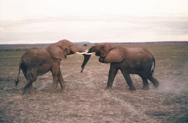 File:African Elephant.jpg
