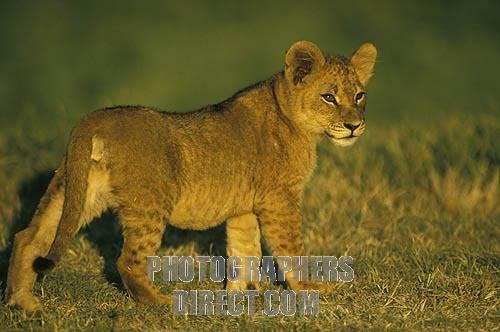 File:Lion Cub.jpg