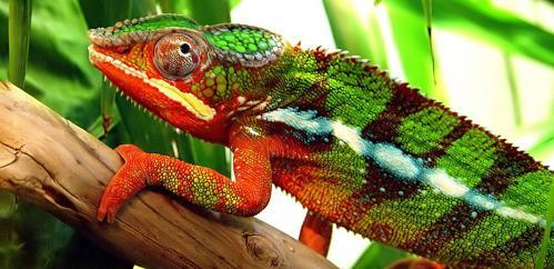 File:Chameleon.jpg