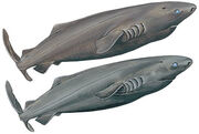15-PACIFIC-SLEEPER-SHARK