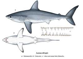 File:Salmon shark.jpeg