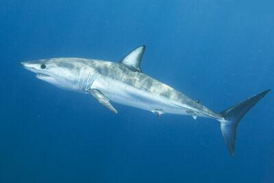 Shortfin Mako Shark 032