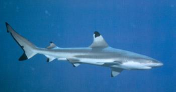 File:Black-tip-reef-shark-picture-01.jpg