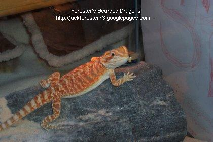 File:ForestersBeardedDragons.jpg