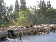 כבשים ליד שעלבים