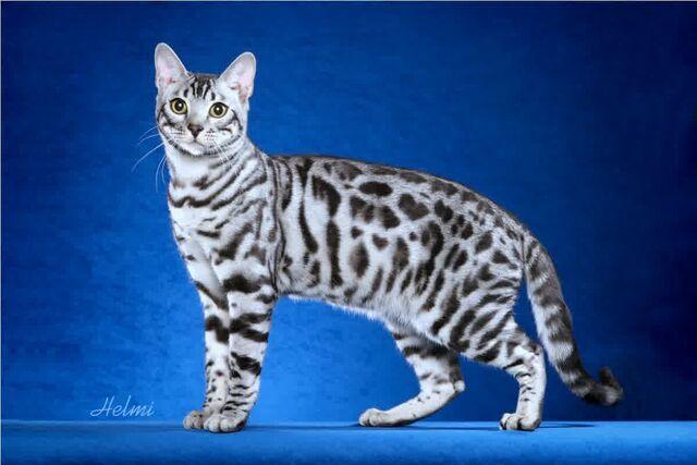 File:White-Bengal-Cat-Wallpaper.jpg