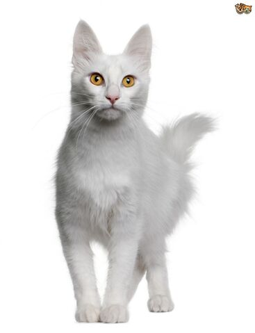 File:Gorgeous-white-coated-cats-but-are-they-prone-to-deafness-53160d87c3551.jpg