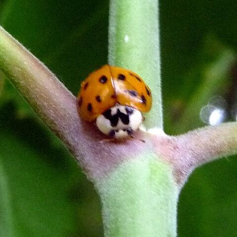 File:Orange ladybug 224.jpg