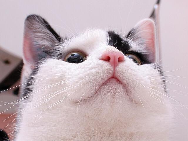 File:Cat nose by hoschie.jpg