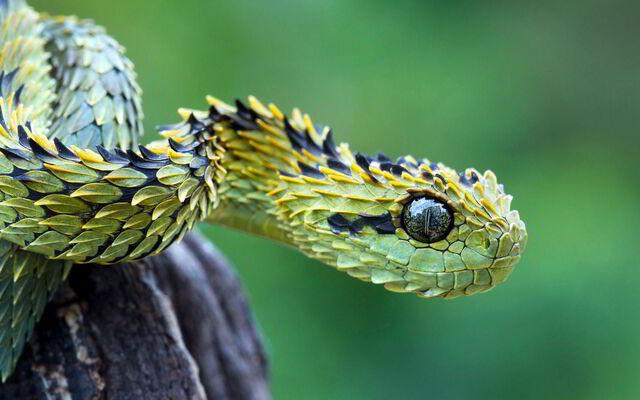 File:Bush-viper-snake.jpg
