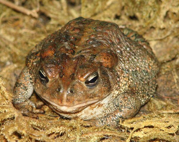 File:American Toad Image 006.jpg