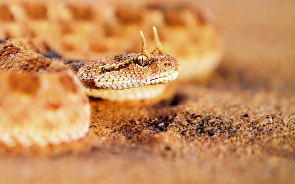 File:Viper-snake-600x375.jpg