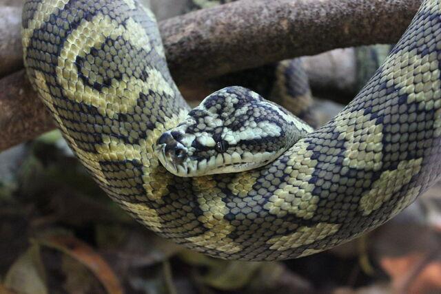 File:Reptilia pythonidae by joshsutherland-d57slfu.jpg