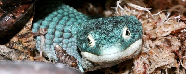 File:Blue alligator tree lizard-03.jpg
