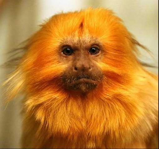 File:Golden lion tamarin google images.png