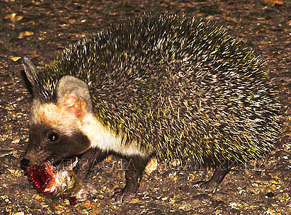 File:Desert-hedgehog-carrying-food.jpg