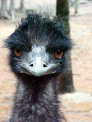 File:Emu face.jpg
