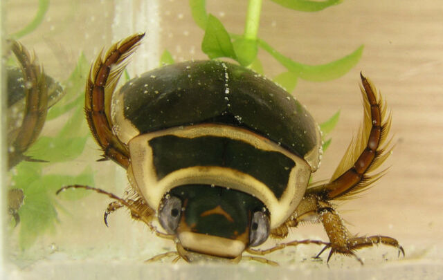 File:Great diving beetle.jpg