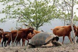 Galapagos invasive