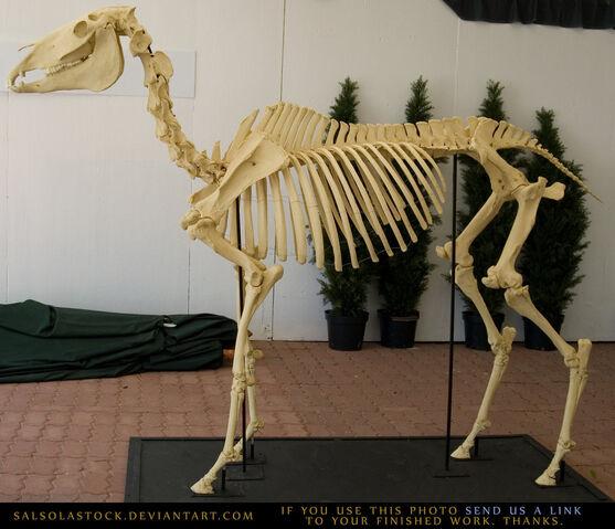 File:Horse skeleton 3 by salsolastock-d1j3rhd.jpg