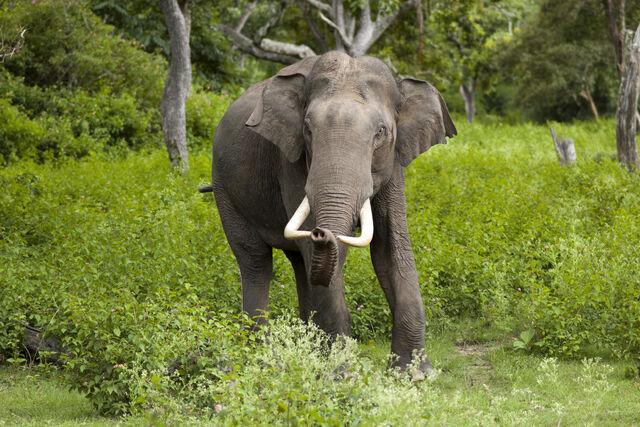 File:Elephas maximus (Bandipur).jpg
