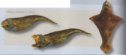 R. megarhynchus