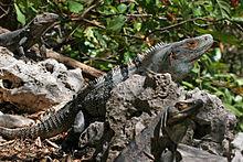 File:220px-CtenosauraSimilis.jpg