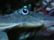 Pleco eye by copperarabian