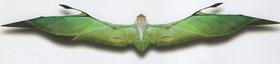 Velocipterus chlorophyllus