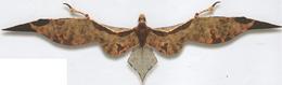 Velocipterus boisei