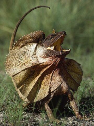 File:Frilled-lizard 530 600x450.jpg