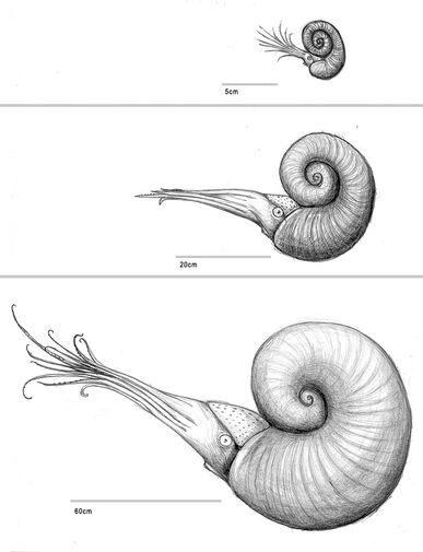 Arctic ammonites
