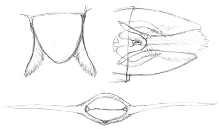 Wingsketch