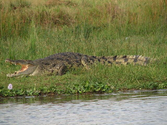 File:Nile Crocodile.jpg